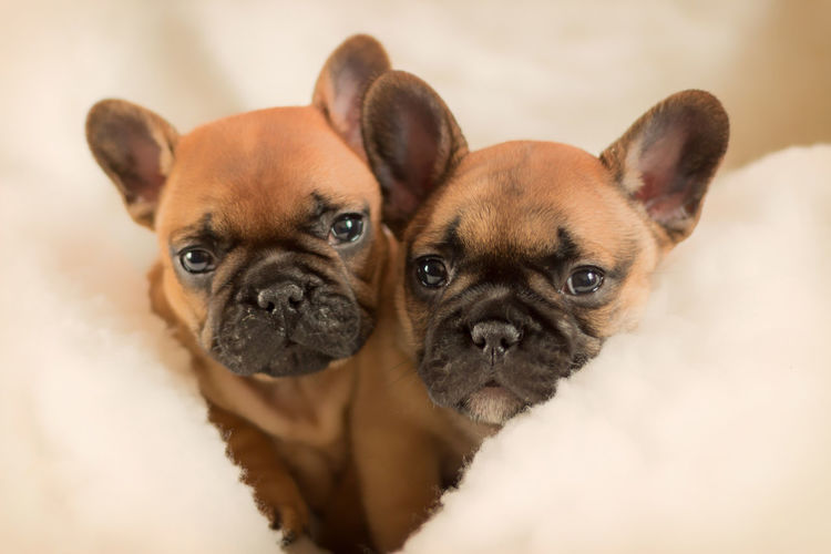 French Bulldog puppies 6 weeks old. Animal Themes Bulldog Bulldoglove Bulldogs Bulldogs ♥ Bulldogsareawesome Bulldogsofinstagram Bulldogsworldwide Close-up Dog Dogs Dog❤ Domestic Animals French French Bulldog Frenchbulldog Frenchie Indoors  Looking At Camera Mammal No People Pets Portrait Puppies Puppy Love