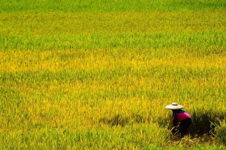 Agriculture Asian Style Conical Hat Beauty In Nature Cereal Plant Day Farmer Field First Eyeem Photo Grass Green Color Growth Harvest Landscape Nature One Person Outdoors Plant Real People Rice - Cereal Plant Rice Paddy Rural Scene Scenics Side View Standing Women