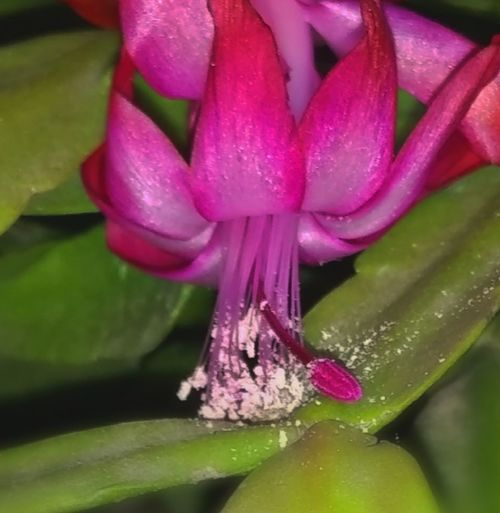 Plant Part Blooming Flower Christmas Cactus Christmas Cactus Flowers Home Decor Christmaa Decorating Pink Color Cactus Flower Pollination Pollen Bee Food Growth Beauty In Nature Nature_collection Natural Light Nature Photography Flower Head Flower Water Beauty Leaf Purple Petal Spa Stamen In Bloom Blossom Botany Pollen Focus