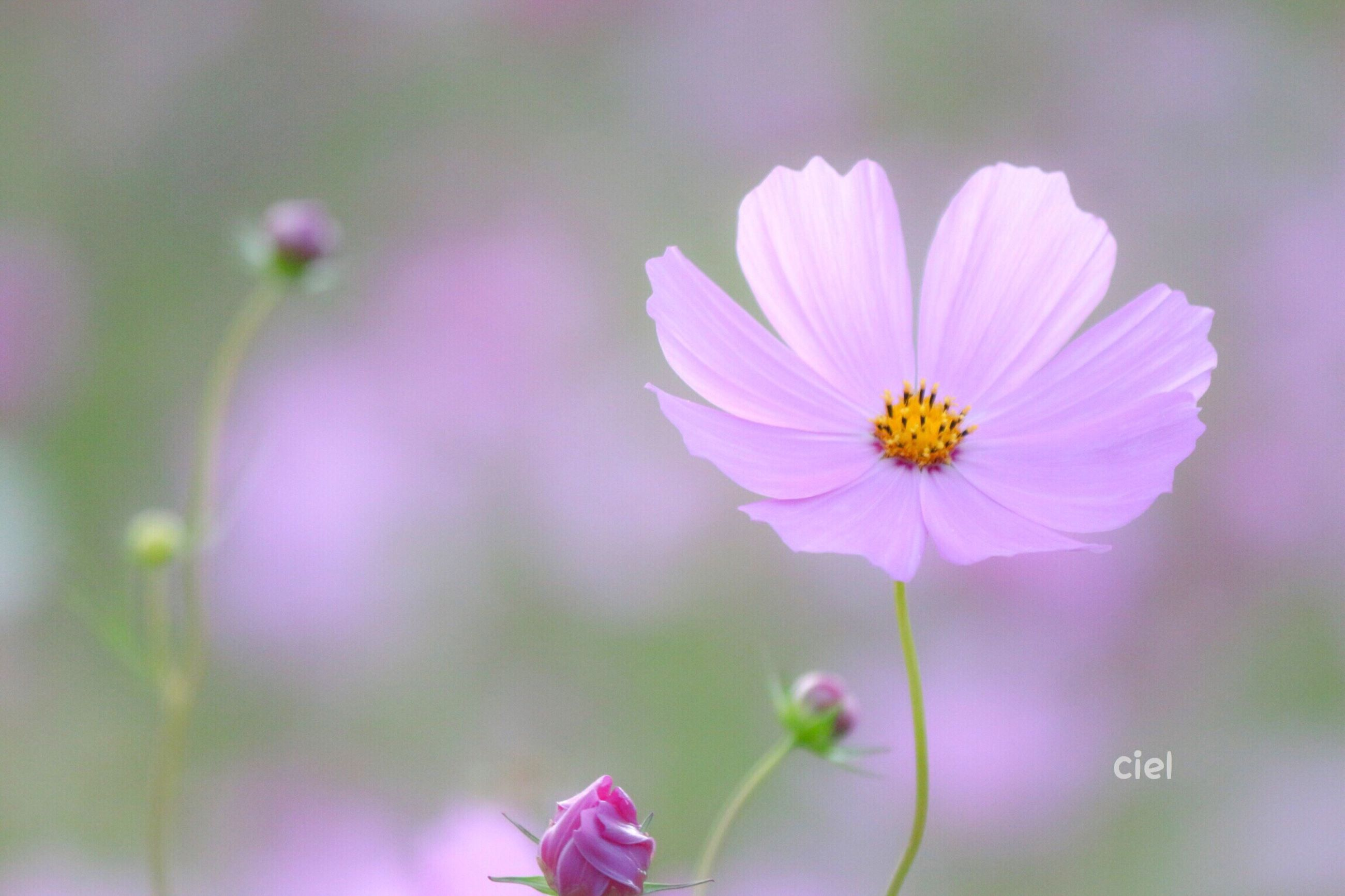 flower, freshness, petal, fragility, stem, flower head, close-up, in bloom, growth, beauty in nature, springtime, blossom, selective focus, focus on foreground, nature, daisy, cosmos flower, botany, pink color, single flower, plant, outdoors, day, cosmos, pollen, softness, no people, blooming, wildflower