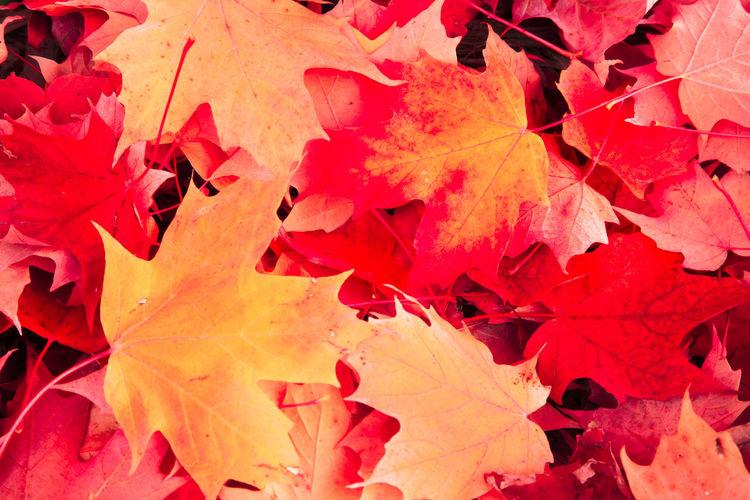 Full frame shot of red maple leaves
