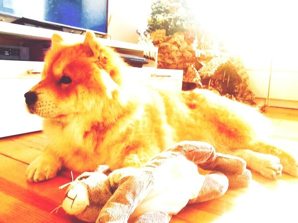 Chawchaw Chowy Relaxing Marcel Peluches MyHOUSE Love ♥ Pets Animals Dog❤ Doglovers