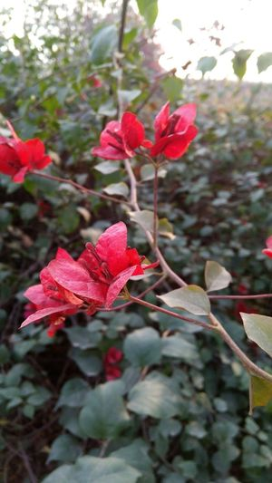 Flower Freshness Red Beautiful Outdoors No People Plant Gp Green