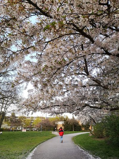 Rear view of person cycling on footpath amidst cherry tree