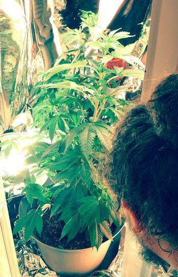 Hanging Out Relaxing Flower Marijuana Indoor Gardening Smoke Weed Legalize Weed Feminine  Home Grown