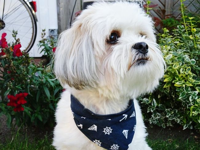 This is my beautiful dog!💘Domestic Animals Pets One Animal Animal Head  Close-up Pampered Pets Dog Animal Themes Flower Front View Loyalty No People Zoology Animal Hair Mammal Bella Dog Love Dogs Of EyeEm Dogs DogLove Doglover Baby Animals White Color Green Background Roses