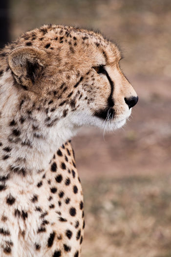 Close-up of cheetah looking away while sitting outdoors