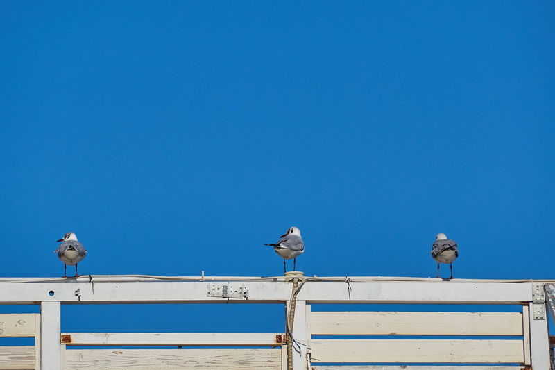 seagulls on a fence with blue sky in the background Mediterranean  Sicily Animal Themes Animal Wildlife Animals In The Wild Bird Bird Of Prey Blue Building Exterior Clear Sky Copy Space Day Italy Large Group Of Animals Low Angle View Messina Nature No People Outdoors Perching Seagull Sky Spread Wings Wildlife