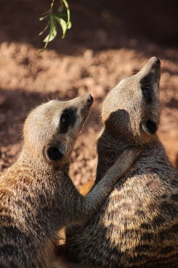 Friendship Friends Cute Cute Pets EyeEm Best Shots EyeEm Gallery Eyemphotography Animal Wildlife Animals In The Wild Two Animals Animal Meerkat Nature Animal Themes No People Outdoors Togetherness Day Mammal Close-up
