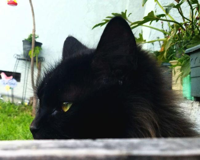Pets Domestic Cat Domestic Animals Mammal Beautiful EyeEm Gallery Cats Cat Black Cat EyeEm Cats Eyeem Cat Portraits