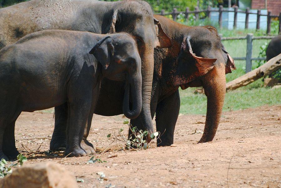 Pinnawala Elephant Orphanage Sri Lanka African Elephant Animal Trunk Elephant Safari Animals