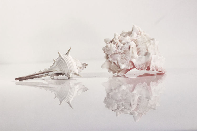 Studio Shot White Background Indoors  Still Life Reflection Shell Snail Shell Close Up Shellclose Up