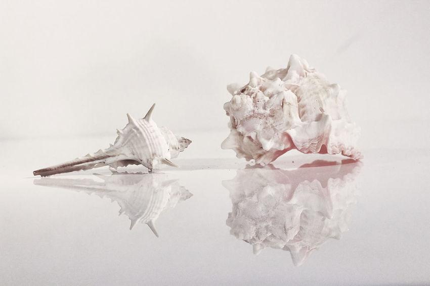 Studio Shot White Background Indoors  Still Life Reflection Shell Snail Shell Close Up Shellclose Up