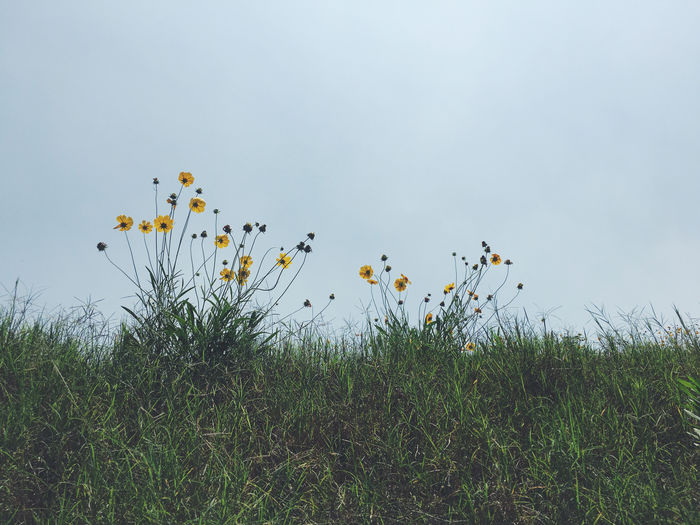 Plant Sky Grass Land Field Tranquility Outdoors Yellow Flower Daisy