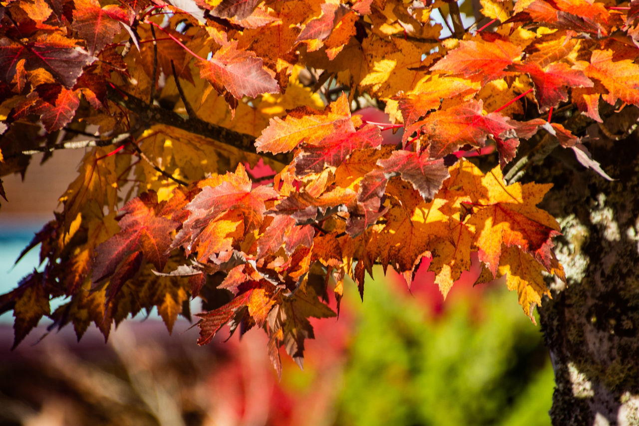 autumn, change, leaf, nature, maple tree, maple leaf, beauty in nature, leaves, orange color, tree, maple, outdoors, day, branch, scenics, no people, selective focus, growth, tranquility, fragility, close-up