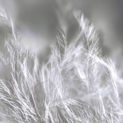 White Theme. Feather. Macro. iPhone 6. Beauty In Nature Close-up Day Feather  Feathers Field Focus On Foreground Fragility Freshness Growth IPhoneography IPS2016White Macro Macro_collection Nature No People Outdoors Selective Focus Softness Uncultivated White Black And White Friday See The Light