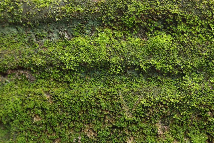 Green Moss in the wall, March 2019 Moss Moss & Lichen Mossy Green Color Plant Growth Nature Backgrounds Beauty In Nature Tree Algae Tranquility Lush Foliage Plant Part Covering Rainforest Lichen Foliage Green Green Color Greenery Wall Green Wall Wallpaper Wall Art First Eyeem Photo