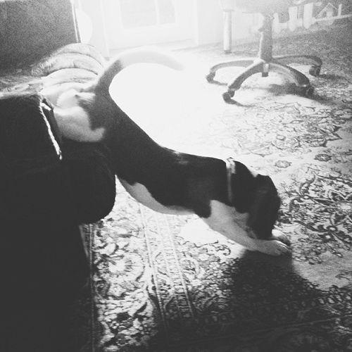 На зарядку становись! Vscominsk Beagle Instadog Bw