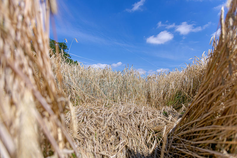 Plant Agriculture Growth Sky Field Crop  Rural Scene Cereal Plant Land Landscape Nature Farm Cloud - Sky Tranquility Day Beauty In Nature Wheat Environment No People Blue Outdoors Getreidefeld
