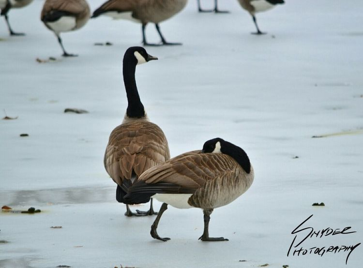 Nature Geese Frozen Pond Frozen Cold Bird Zoom Ice