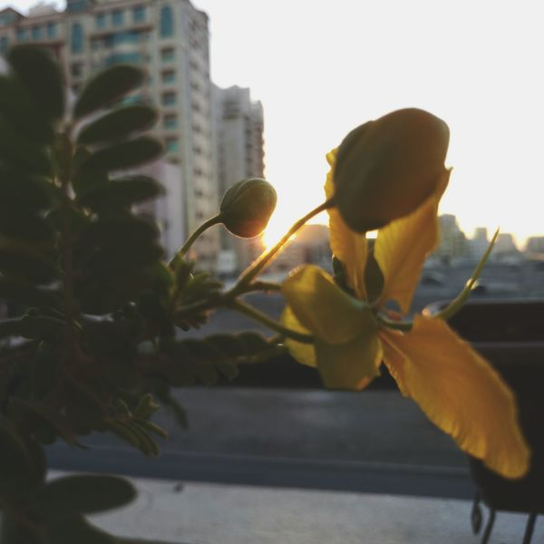 City Yellow Outdoors Building Exterior Architecture Plant Day Built Structure Flower Close-up Tree DXB Mobilephotography Architecture Nature Flowers Eyeemphotography No People Landscape Dubai Sunlight Sunshine ☀ Beautiful Sunset Cityscape Xperiaphotography Dramatic Sky