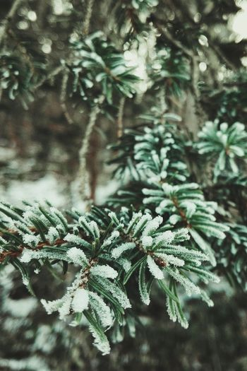 Backgrounds Beauty In Nature Cold Temperature Snowflake Outdoors Forest Nature Winter Tree Snow EyeEmNewHere Peace Morning Chill EyeEmBestPics Christmas Tree Detail Details Of Nature Cold No People Close-up Branch