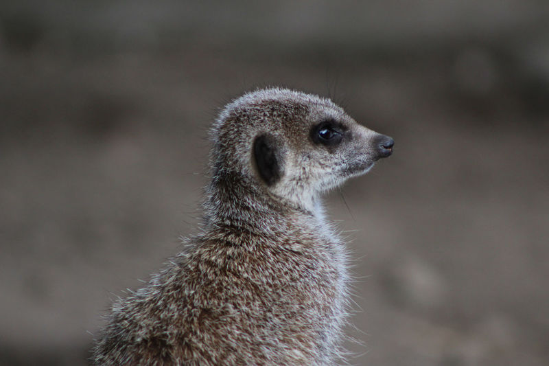Alertness Animal Hair Animals In The Wild Beak Beauty In Nature Bird Close-up Focus On Foreground Looking Meerkat Nature One Animal Outdoors Wildlife Zoology