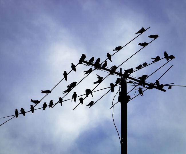 Pigeon Pigeons