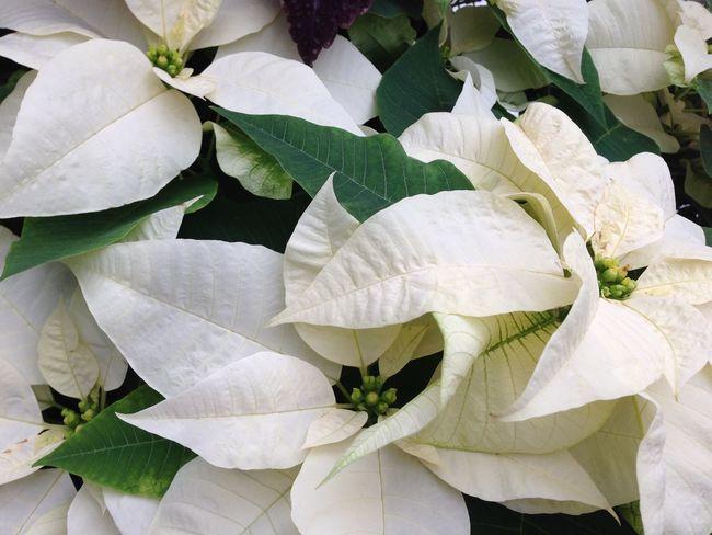 Festive Season The Purist (no Edit, No Filter) White Flowerporn Glorious Poinsettias at the greenhouse...