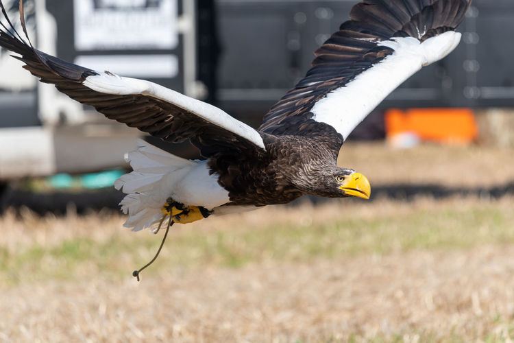 Close up of a stellers sea  eagle flying low to the ground in a falconry demonstration.