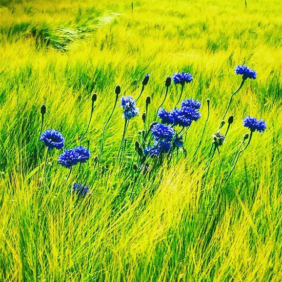 Hello World Beauty In Nature Cornflower Cornflowers Corn Beautiful Nature Nature