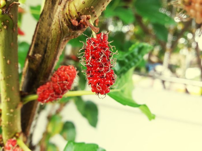 Tree Fruit Red Branch Leaf Winter Close-up Plant Green Color Food And Drink