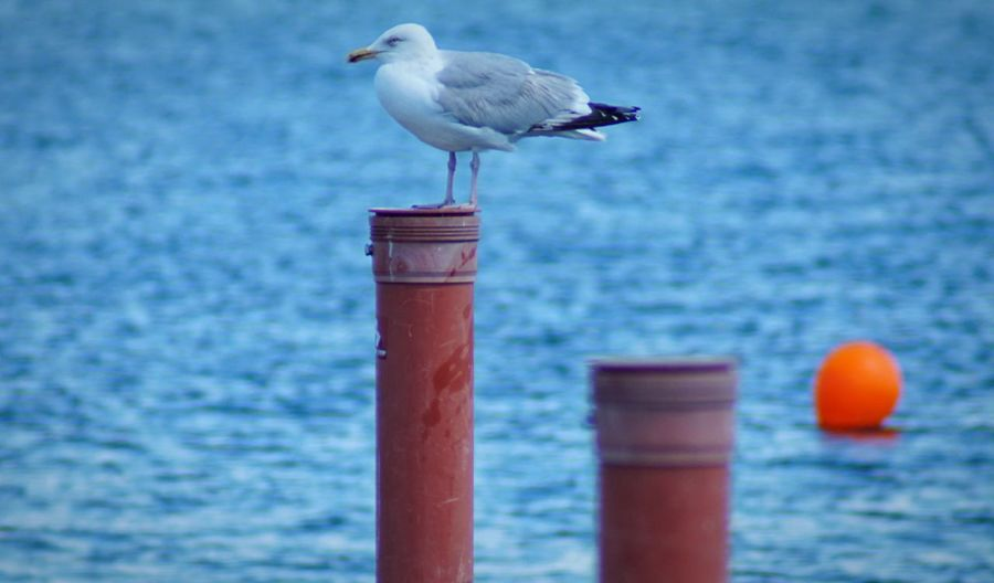 A seagull Bird Animal Themes Vertebrate Animal Animal Wildlife Animals In The Wild One Animal Water Sea Seagull Focus On Foreground Day No People Outdoors Blue Post