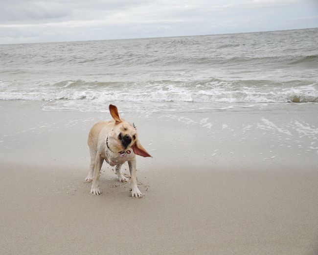 Dog shaking on beach