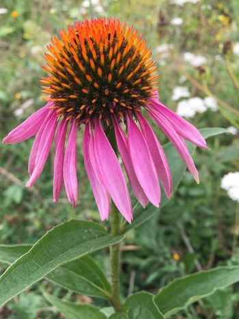 Pink & orange two of my favourites together Mother Nature really knows her stuff when it comes to colour combinations. Striking echinacea in a local parks wildflower meadow. Flower Eastern Purple Coneflower Coneflower Flower Head Blooming Beauty In Nature Close-up Echinacea Echinacea Purpurea Echinacea Flower Pink Color Orange Color No People Nopeople Outdoors Nature Purple Mother Nature Natural Light Natural Beauty South London London Wildflower Wildflowers