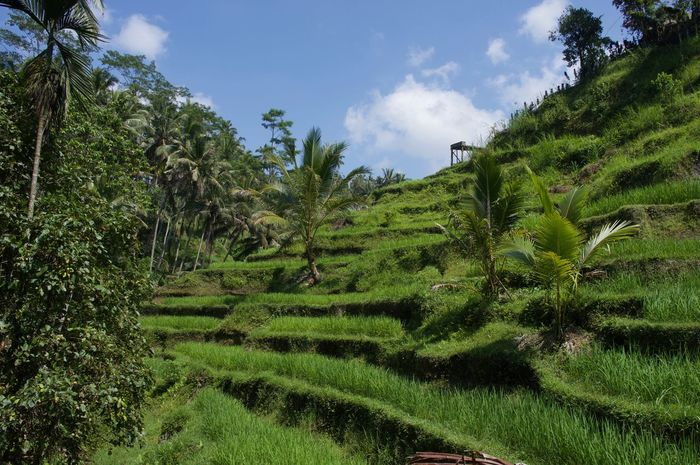 Tegallalang Rice Terraces Green Color Growth Cloud - Sky Nature Tranquil Scene Environment Lush Foliage Outdoors Rice Paddy Rice Field Rice Terraces Rice Terraces Ubud Bali Bali, Indonesia DSLR Pentax Pentax K-3 Dslrphotography DSLR Photography Travel Destinations