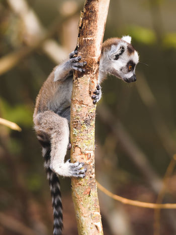 Animal Themes Animal Wildlife Animals In The Wild Baby Animal Branch Climbing Close-up Day Focus On Foreground Hanging Lemur Mammal Monkey Nature No People One Animal Outdoors Pairi Daiza Playful Tree
