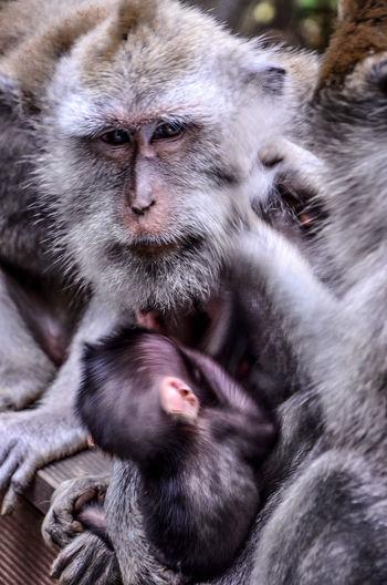 Close-Up Of Monkey Feeding Infant