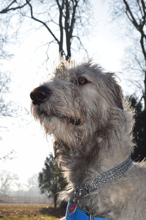 Animal Themes Animal Head  Animal Body Part One Animal Domestic Animals Outdoors Tree Sky Looking At Camera Dogwalk Take A Walk In The Park Dogs Of EyeEm Dogslife Irish Wolfhound Cearnaigh Winter 2017 February 2017 How Is The Weather Today? Herrenkrugpark Silhouette Sunlight Bokeh Sunbeam Dog Animal Head