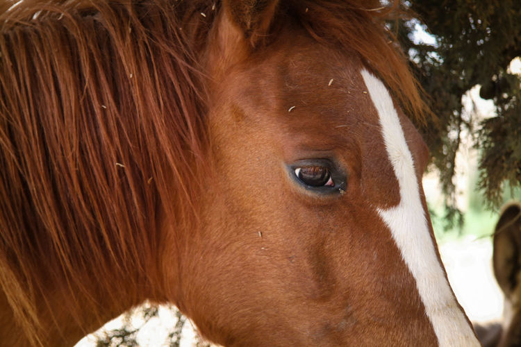Mane Animal Body Part Animal Eye Animal Hair Animal Nose Brown Close-up Day Domestic Animals Eyes Focus On Foreground Headshot Herbivorous Horse, Pony, Colt, Animal, Animals, Mane, Mammal Horses Eyes Horses Mane Mammal Mane Nature Outdoors Part Of Portrait Snout