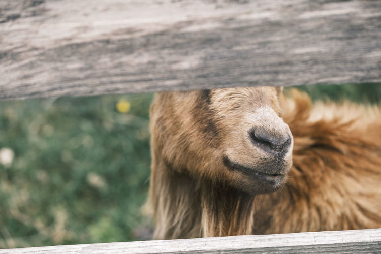 Brown goat hiding behind a fence