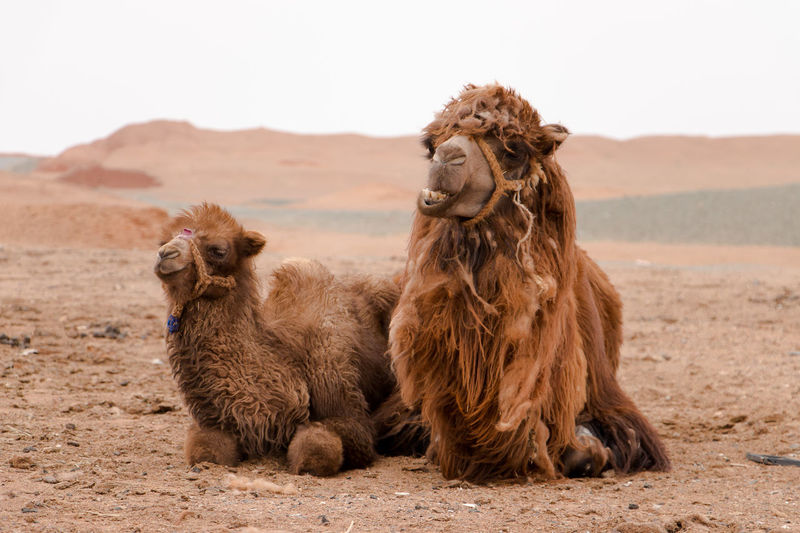 Close-Up Of Camels Relaxing On Desert
