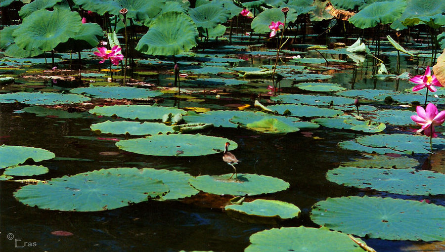 Australia Day Floating On Water Flower Green Color No People Plant The Lotus Bird Water Water Lily Yello River