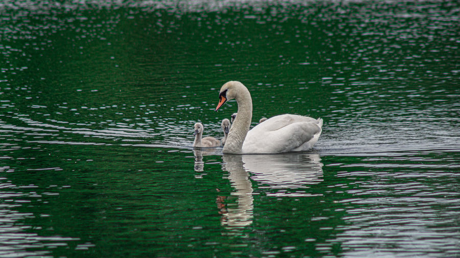 Adult Airport Animal Baby Background Beak Beautiful Beauty Bill Bird Blue Brown Cute Cygnets Elégance Elegant Essex Family Feather  Feathers Forest Graceful Grey Hatfield Lake Life Natural Nature Neck Outdoor Peace Peaceful Pond Protect Reflection River Sift Signet Signets Summer Surface Swan Swans Swimming Tranquil Uk White Wild Wildlife Young