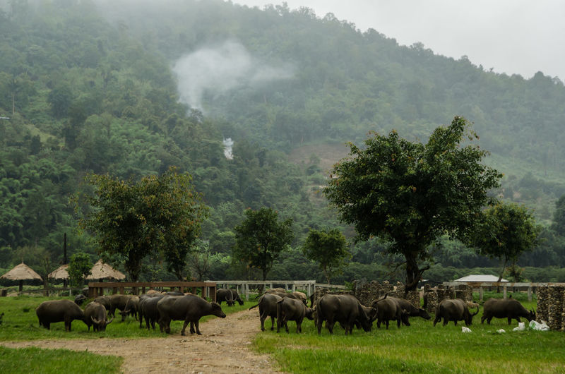 Buffaloes grazing on field against mountain