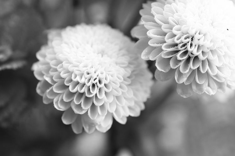 Flower Flowering Plant Plant Flower Head Beauty In Nature Freshness Close-up Vulnerability  Fragility Inflorescence Petal Growth Focus On Foreground Nature No People Outdoors Dahlia Day Bunch Of Flowers