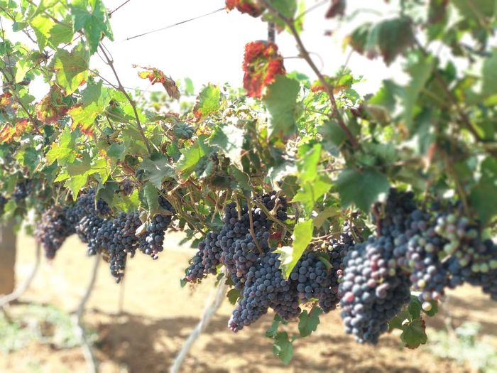 Fruit Growth Grape Vineyard Winemaking Agriculture Nature Bunch Outdoors Vine - Plant Day