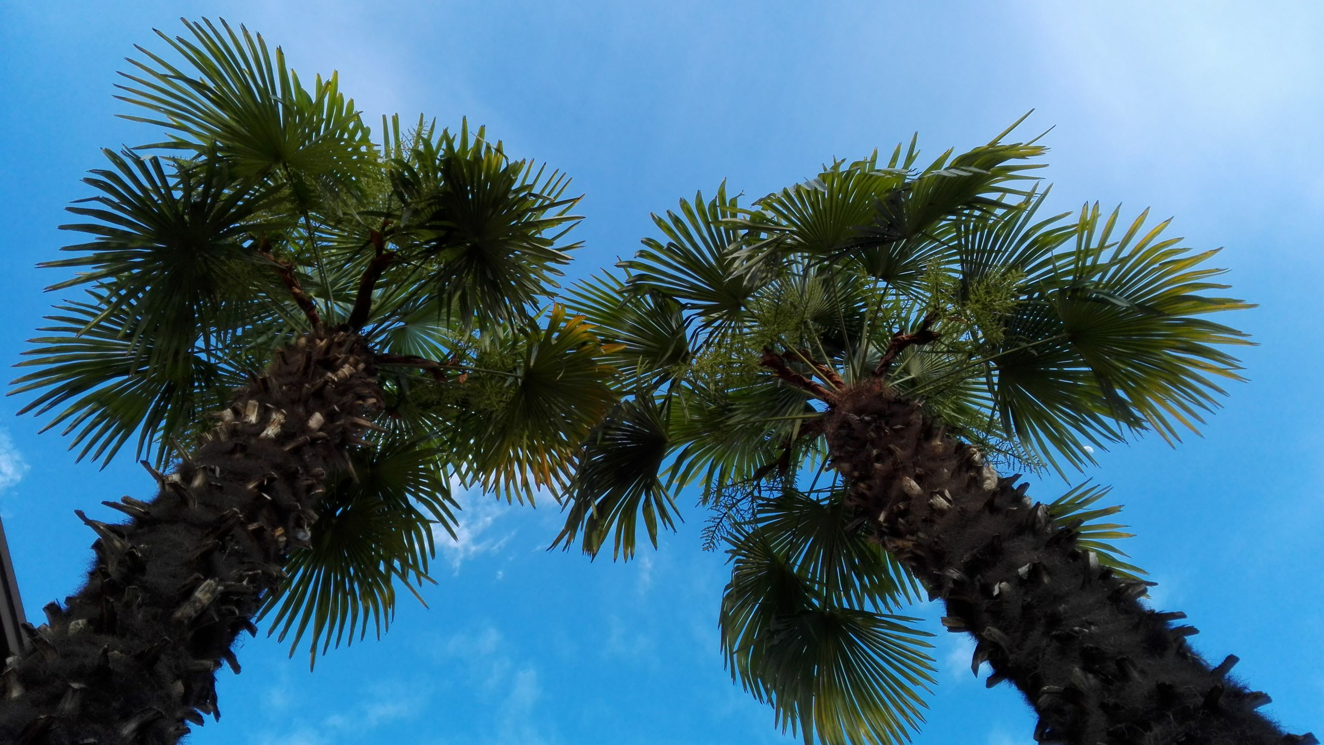 low angle view, palm tree, tree, growth, sky, clear sky, nature, tranquility, blue, beauty in nature, palm leaf, branch, tree trunk, leaf, coconut palm tree, scenics, tropical tree, day, sunlight, tall - high