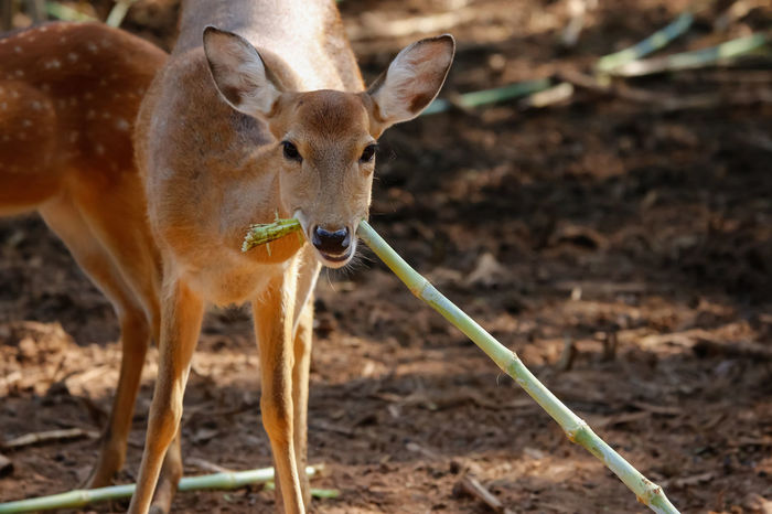 Animals In The Wild Axis Deer Deer Eating Animal Animal Themes Animal Wildlife Antelope Axis Close-up Day Looking Mammal Nature One Animal Outdoors Portrait Standing