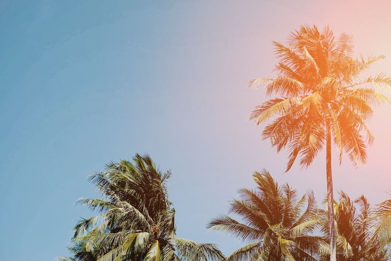 Coconut tree and blue sky Coconut Plant Tree Environment Sunlight Palm Leaf Travel Summer Season  Beach Relax Vacation Outdoor Paradise Tropical Nature Happy Happiness Trip Fresh Leaf Destination Destiny Beautiful Sky